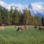 Kühe in Mieming