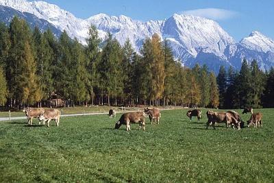 Kühe grasen auf einer Weide in Mieming